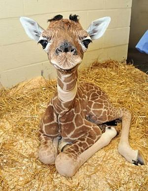 baby giraffe cutest baby animal ever