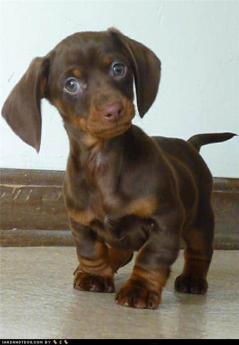 dachshund cute big eyes