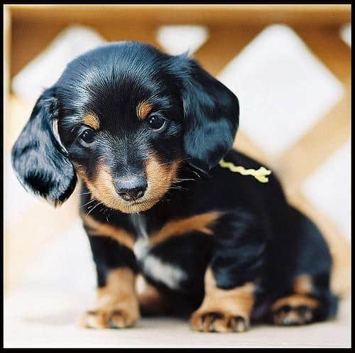 dachshund cute tiny pup