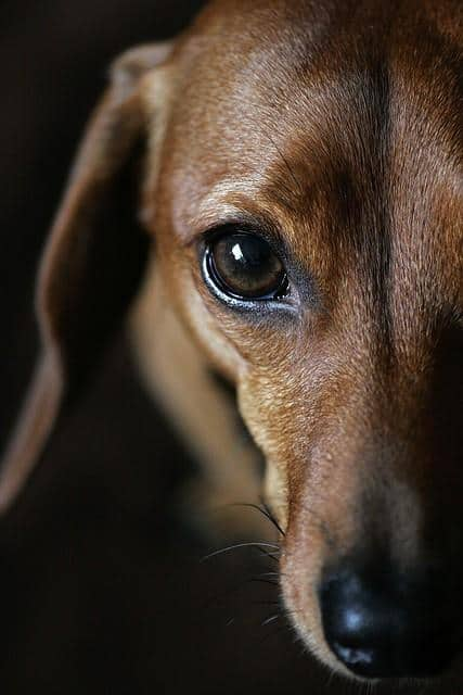 dachshund look into my eye