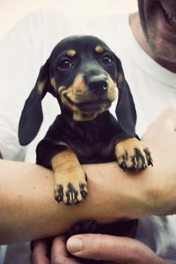 dachshund smile pup