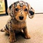 dachshund spotted pup