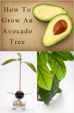 how to grow an avocado tree diy