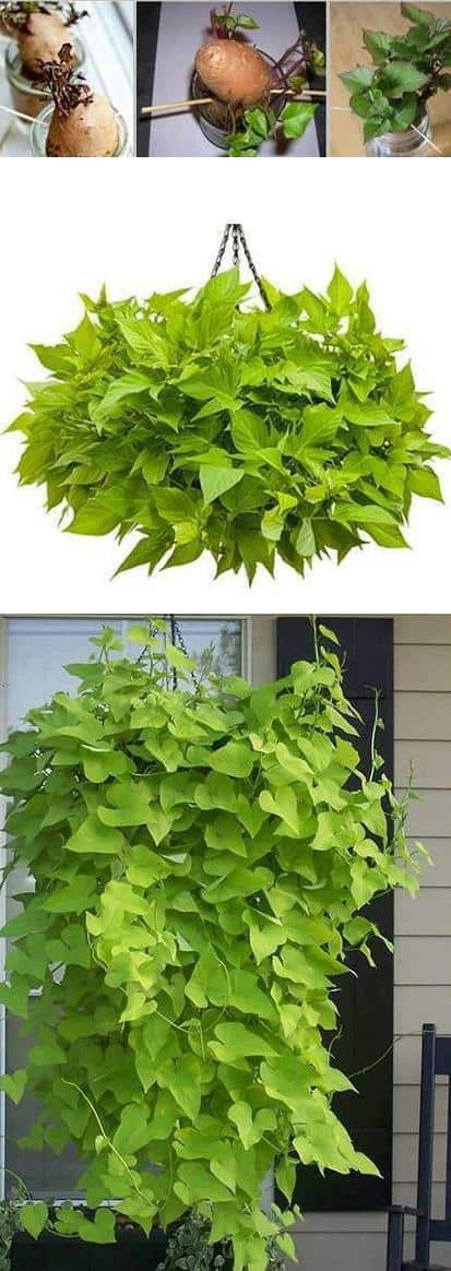 how to grow sweet potato vines