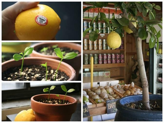 How To Grow A Lemon Tree From A Seed