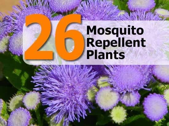 Plants To Keep Your Garden Mosquito Free