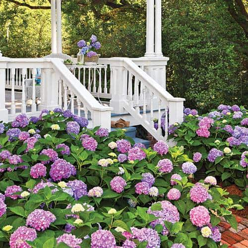 Color Your Hydrangeas