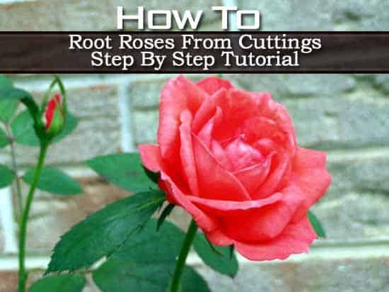 Rooting Roses