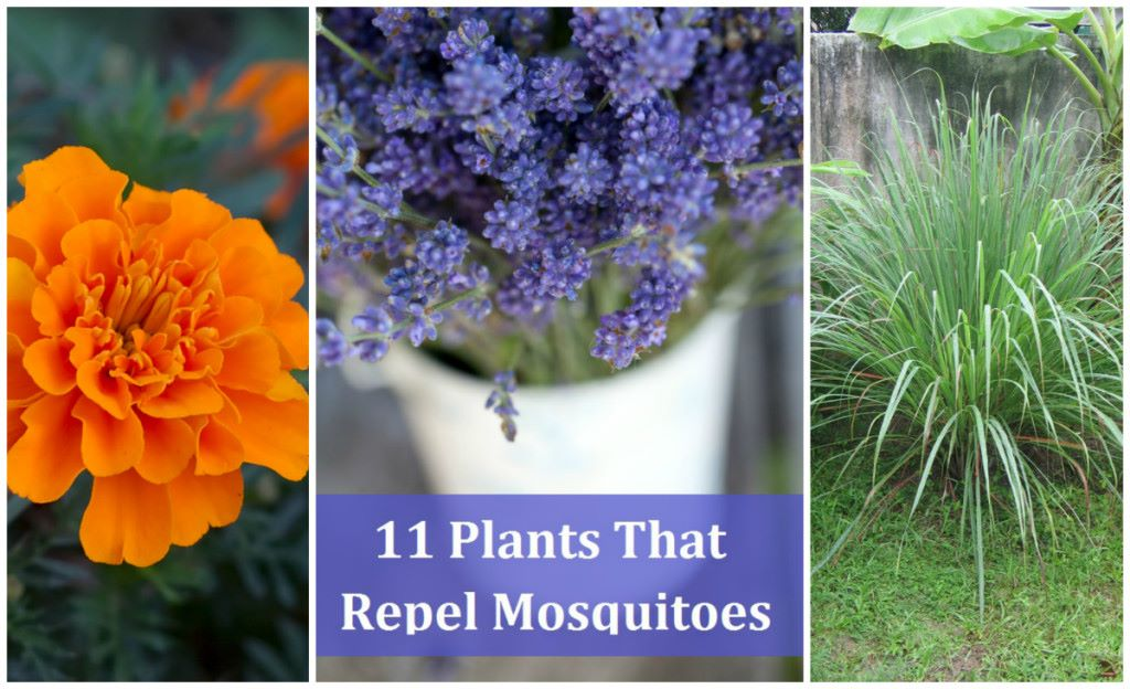 Plants That Will Help You Keep Mosquitoes Away Diy Cozy Home