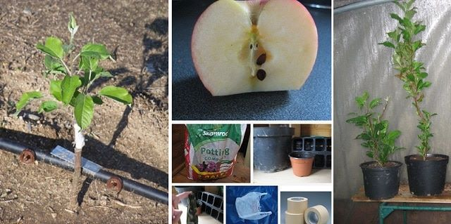 Grow Apple Trees From Seeds Here S How Diy Cozy Home